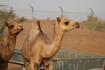 верблюжата