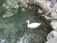 вот такой лебедь  на пруду