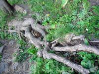 вот какие корни у многовековых деревьев...