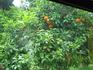 Почти созревшие апельсины