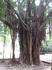 Такое интересное дерево. Не поймешь то ли корни растут вверх, то ли ветки укоренились, а скорее всего это какая-то лиана. Короче дубы-колдуны.