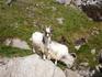 горные козлы