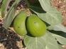 Содомское яблоко. Ядовитое, между прочим. Но мухи его не боятся)))