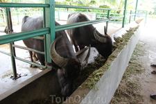 Сюда мы приехали чтобы попробовать продукты на основе буйволиного молока