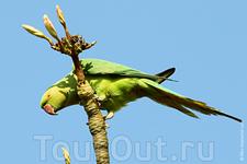 Это индийский кольчатый попугай.