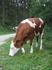 Чистейшие коровы, гуляющие в Альпах
