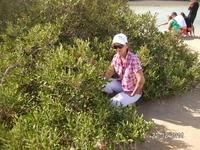 поездка в Рас Мохаммед. Мангровые заросли - листья соленые (они опресняют воду, забирая соль)