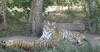 Фотография Сафари-парк тигров