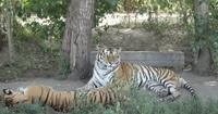 Сафари-парк тигров