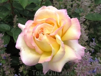 Прекрасные розы Праги
