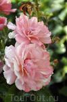 Розы Сорренто