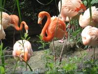 Фламинго, как всегда изящны и красивы
