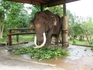 Самый старый слон на Шри-Ланке.