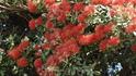 Часто встречающееся цветущее дерево..цвет передать невозможно...