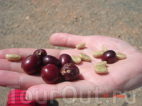 Если раскусить кофейную ягоду, то она на вкус сладкая. Внутри нахорятся два белых зерна, которые вначале просушивают, потом обжаривают и они приобретают ...