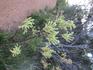 Цветок Kangaroo Paw