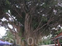 """А в городе Нуса-дуа, на привелигированной территории - Бали коллекшн, недалеко от русского ресторана """"Славянка"""", растет вот такой вот баобаб."""