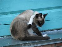 Голубоглазая кошка Лагуны