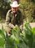 Выращивание табака в провинции Пинар Дель Рио