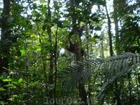 Треск по верхушкам деревьев такой как в хороший ураган в лесу. А это он-хозяин орангутанг.