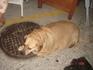 Упитанная собачка, живущая в Хании.
