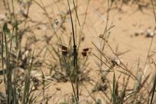 волшебные стрекозы - такие так же повсеместно встречаются