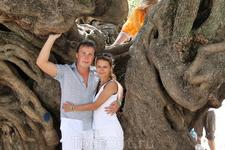 Оливка сильно напоминает деревья, ворочающие камни в Ангкоре Камбоджи.