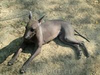 Австралийская собака