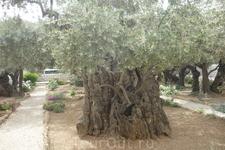 Гефсиманский сад.Олива , который 1000 лет.
