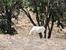 Антилопа Аддакс в национальном парке Сус-Масса
