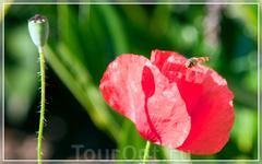 Gardens of Champ de Bataille,маки