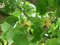 В мае цветут тюльпанные деревья. Цветы похожи на тюльпан.По научному дерево называется лиран.