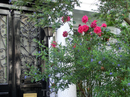 Самое красивое, что есть в Лондоне, ну кроме Биг-Бена конечно, это парки, сады и множество цветов, которые высаживают везде, где только можно, и которые цветут практически круглый год.