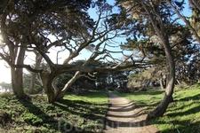Возраст некоторых деревьев превышает 2000 лет. Монтерейский кипарис отличается от калифорнийского своими длинными ветвями и тонкими иголками. Калифорнийский ...