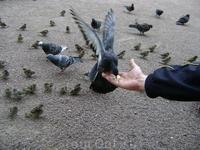 Наглые и вечно голодные голуби Питера.