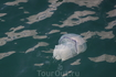 медузы в Балаклавской бухте