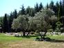 кусочек оливковой рощи