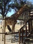 вот так можно покормить жирафчика