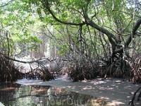 Это мангровый лес. Его показывают во время лодочной прогулки.