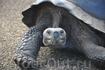 Гигантские черепахи обитают только на Галапагосских островах