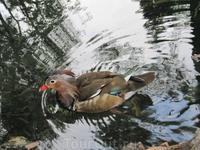 Водоплавающее. Поскольку я не очень хорошо разбираюсь в живности, что это за утка не подскажу. Но оперение очень красивое.