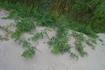 Дюны кое-где заросли душистым горошком.