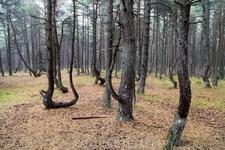 """Почему зона поражения так локальна? Почему этот лесной """"флешмо́б"""" можно увидеть только здесь? Для вирусов и ветров нет границ..."""