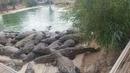 крокодилы нильские