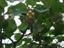Здесь в Головинке в одном из дворов увидели как цветет киви и вьется по беседке словно виноград.