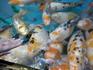 Ручные рыбки!