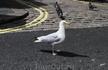 Чайки главные птицы в Плимуте!
