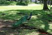 Павлин живет в старом парке