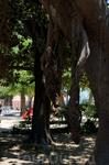Дерево (Фикус)