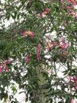 орхидейное дерево в саду близ Кафедрального Собора в Пальме-де-Майорка